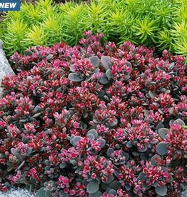Sedum x Sedoro 'SunSparkler® Blue Elf' #1
