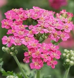 Achillea New Vintage Rose, Yarrow #1