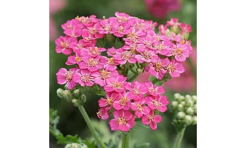 New Achillea New Vintage Rose, Yarrow #1
