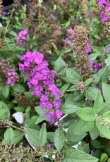Buddleia Miss Violet Butterfly Bush, Miss Violet, #3