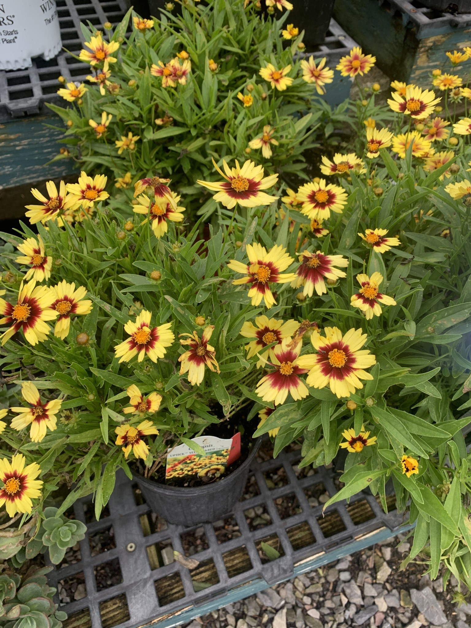 Coreopsis UpTick Yellow & Red Tickseed, #1