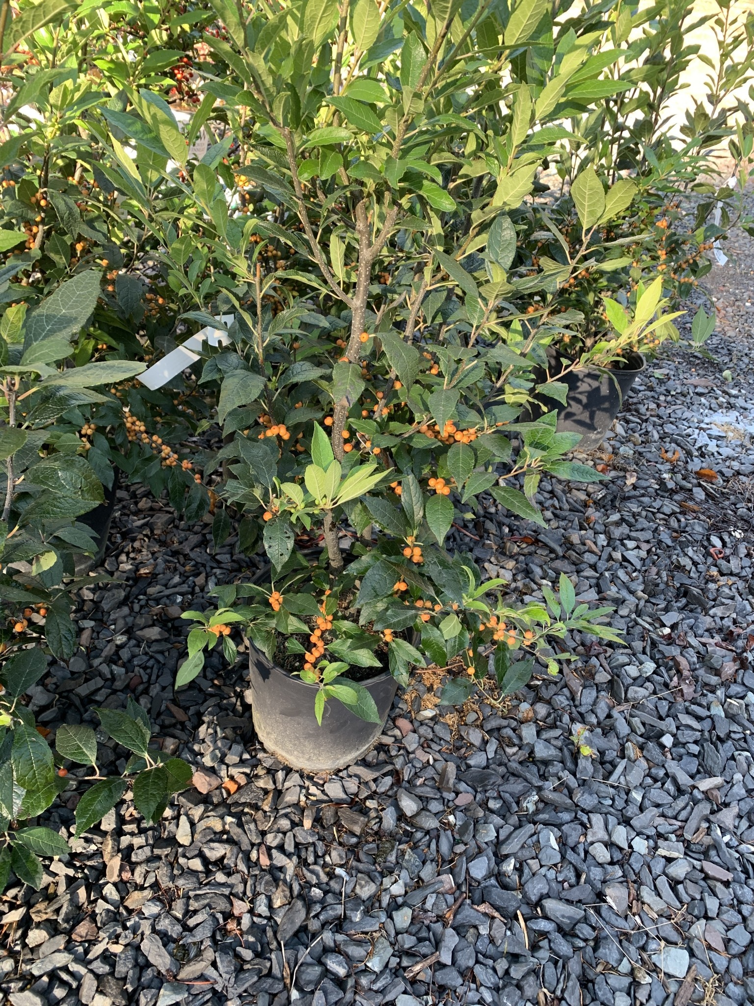 Ilex vert. Winter Gold Holly - Winterberry, Winter Gold, #3