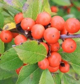Nativar Shrub Ilex vert. Little Goblin Orange Holly - Winterberry, Little Goblin Orange, #3