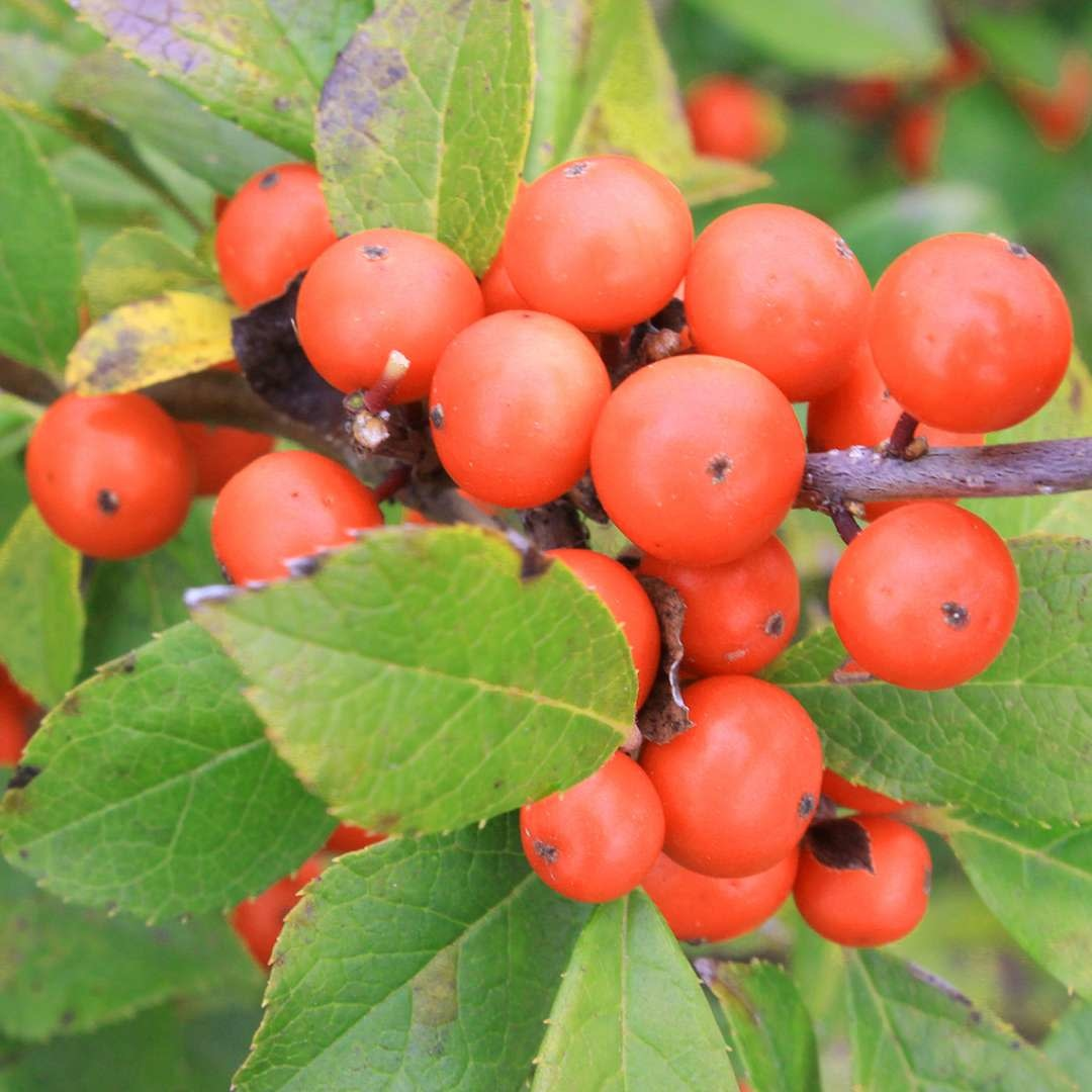 Nativar Shrub Ilex vert. Little Goblin Orange Holly - Winterberry, Little Goblin Orange, #3