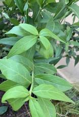 Nativar Shrub Euonymus Americanus, Strawberry bush #3