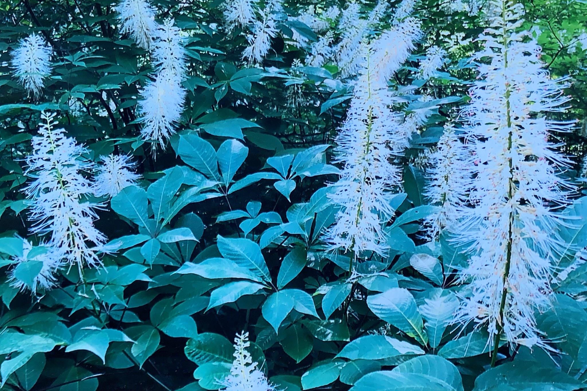 Aesculus parviflora Buckeye - Bottlebrush, #5