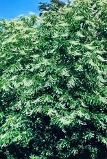 Oxydendrum arboreum Sourwood, #3
