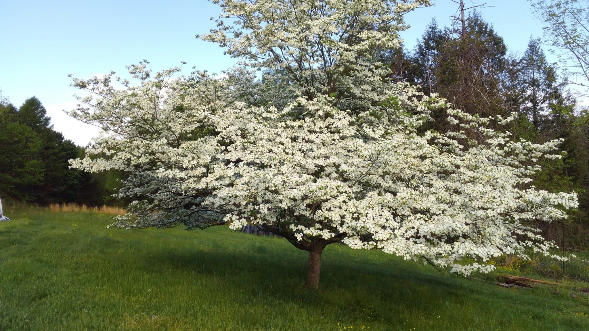 Native Tree Cornus florida Dogwood - Flowering, #3
