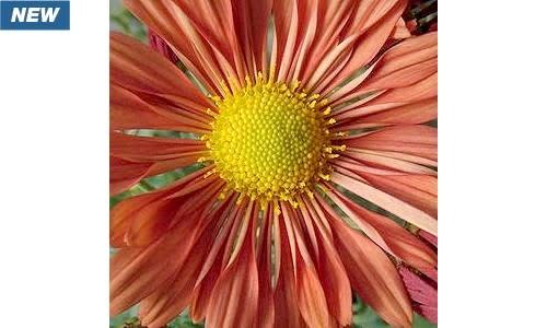 New Chrysanthemum Coraligraphy, Mum #1 cont