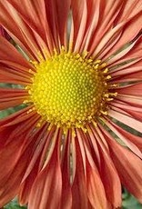 none Chrysanthemum Coraligraphy, Mum #1 cont