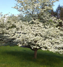 Cornus florida Dogwood - Flowering, #7