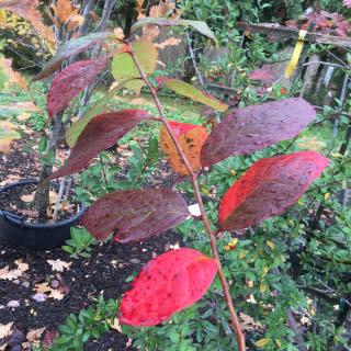Native Tree Nyssa sylvatica Black Gum, #7