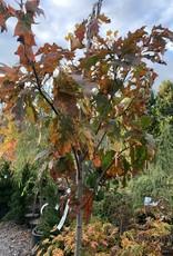 Quercus rubra Oak, Red, #15