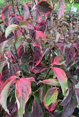 Cornus x Celestial Shadow Dogwood - Varigated Golden, #7