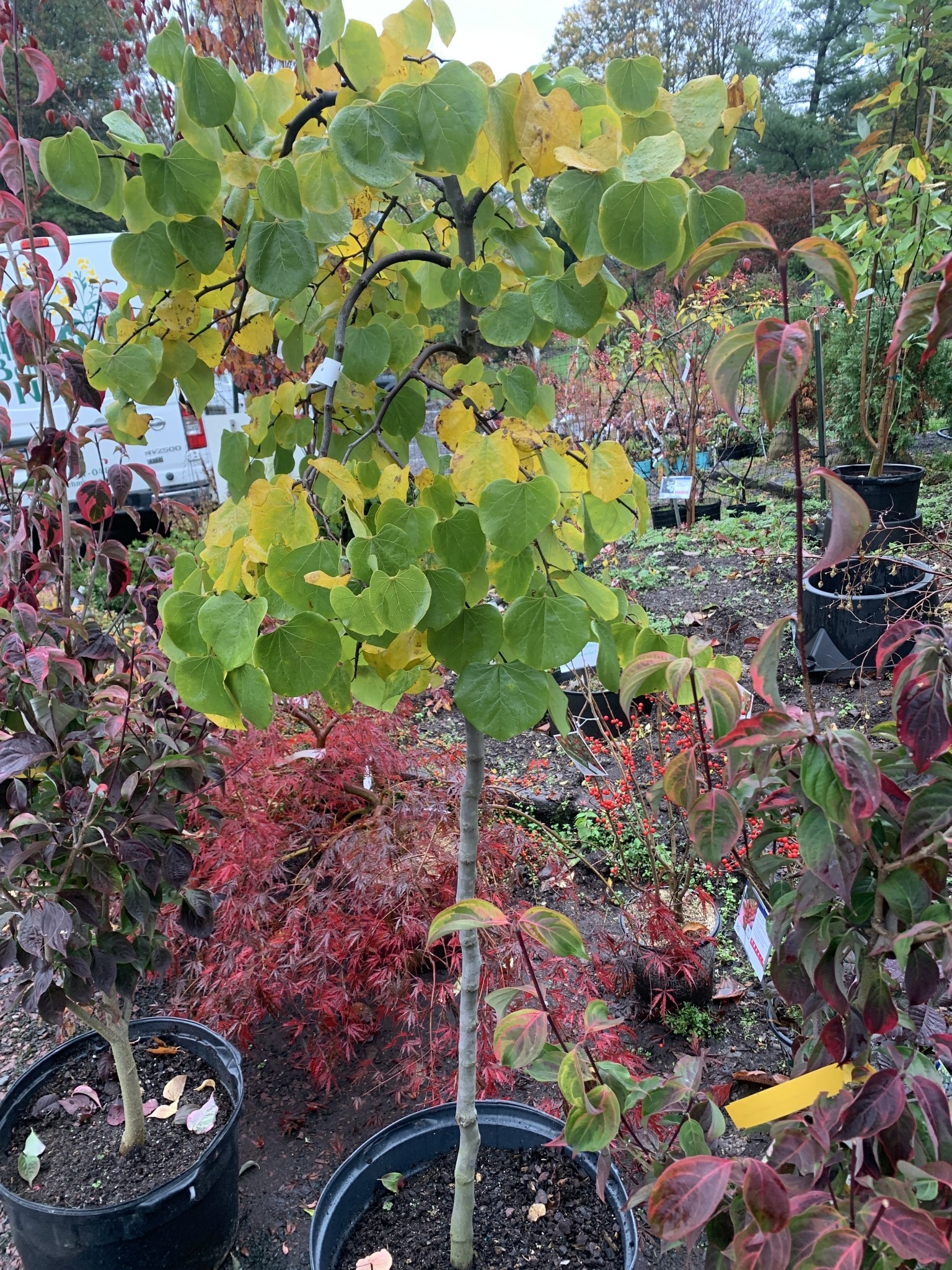 Cercis can. Vanilla Twist Redbud - Weeping, White, #10