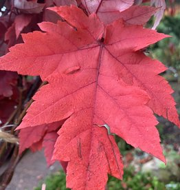 Acer x freemanii Jeffersred Maple - Freeman, Autumn Blaze, #15
