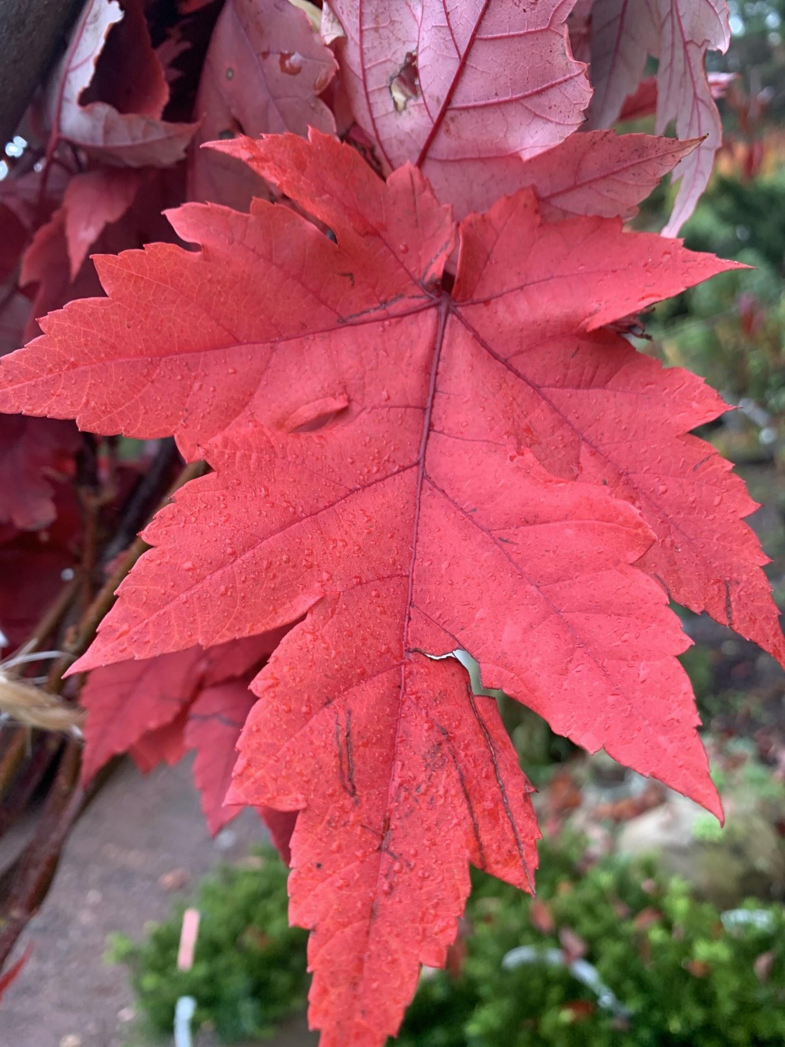 Acer x freemanii Jeffersred Maple - Freeman, Autumn Blaze, #15
