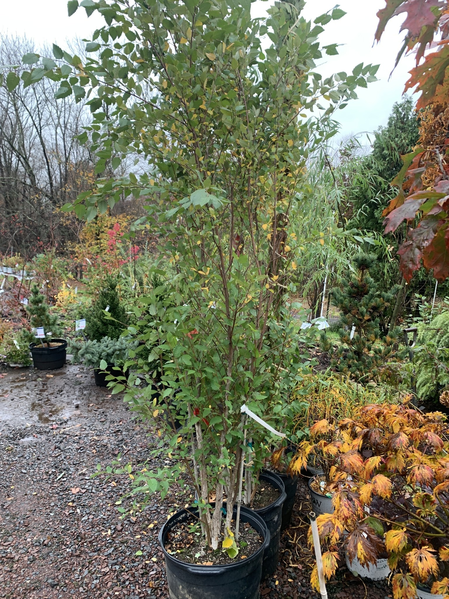 Betula nigra 'Dura-Heat' Dura-Heat River Birch, #15