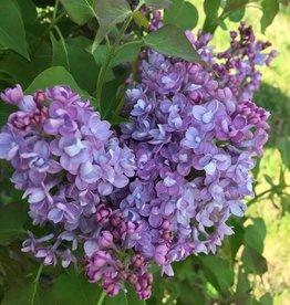 Syringa x hyacin. Scentara Lilac,  #3
