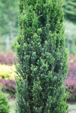 Taxus x media Stonehenge Yew - Upright, #3