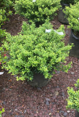Ilex crenata Soft Touch Holly - Japanese, Soft Touch, #3 18-24""