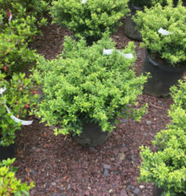 Ilex crenata Soft Touch Holly - Japanese, Soft Touch, #3 18-24''