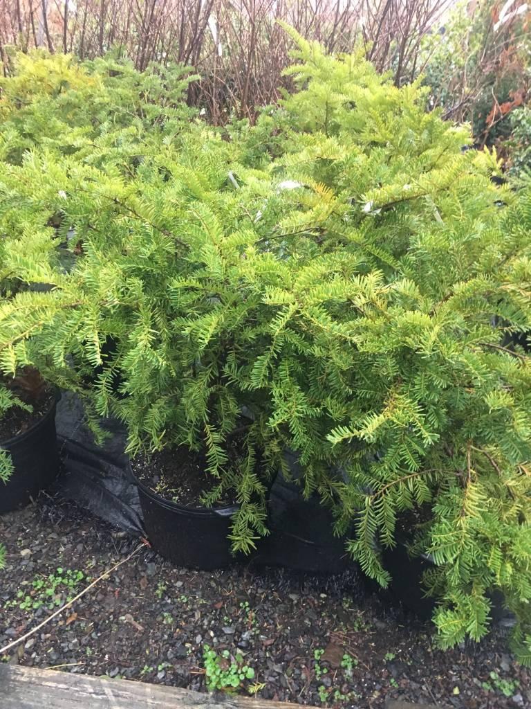 Taxus cuspidata Green Wave Yew - Japanese, Green Wave, #3