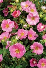 Potentilla frut. Kupinpa Bush Cinquefoil, Happy Face Pink Paradise, #3