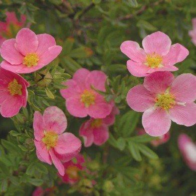 Potentilla frut. Pink Beauty Bush Cinquefoil, Pink Beauty, #3