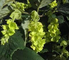 Corylopsis Spicata Winterhazel, Spike, #7