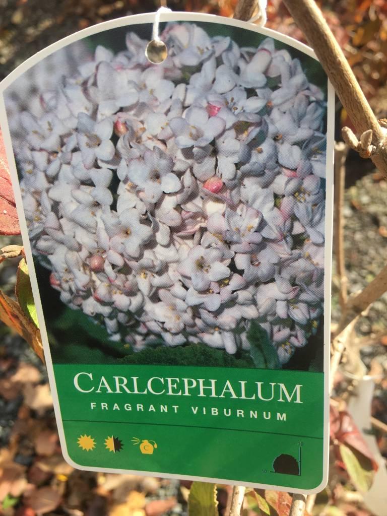 Viburnum x carlcephalum Viburnum - Fragrant, #3