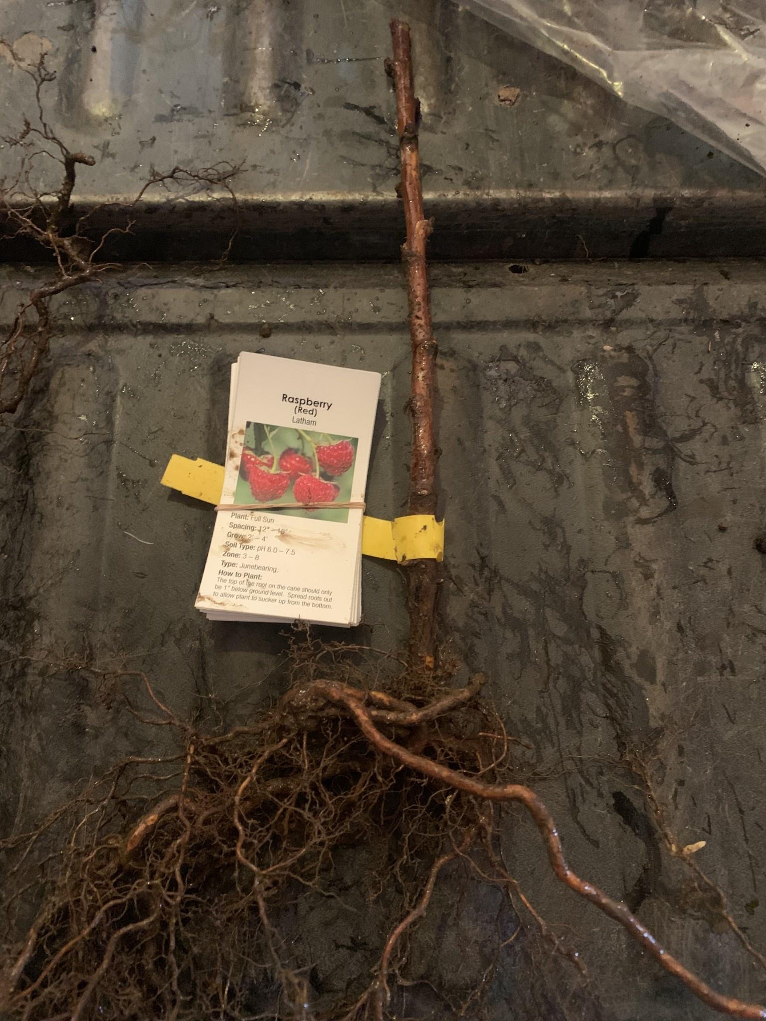Rubus New Logan Black Raspberry, New Logan,