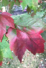 Acer rubrum Franksred Maple - Red, Red Sunset, #15