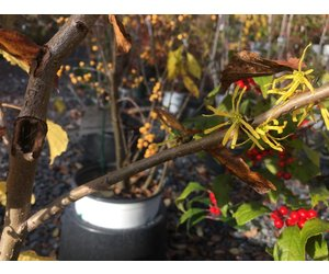 Hamamelis Virginiana Witch Hazel Common 3 Behmerwald Nursery