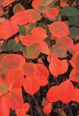 Nativar Shrub Aronia mel. Autumn Magic Chokeberry, Autumn Magic, #3