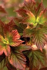 Viburnum trilobum Viburnum - American Cranberry Bush, #3