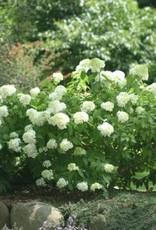 Hydrangea panic. Little Lamb Hydrangea - Hardy, Little Lamb, #7