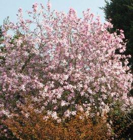 Magnolia x loeb. Leonard Messel Magnolia - Loebner, Leonard Messel, #3