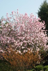 Magnolia x loeb. Leonard Messel Magnolia - Loebner, Leonard Messel, #7