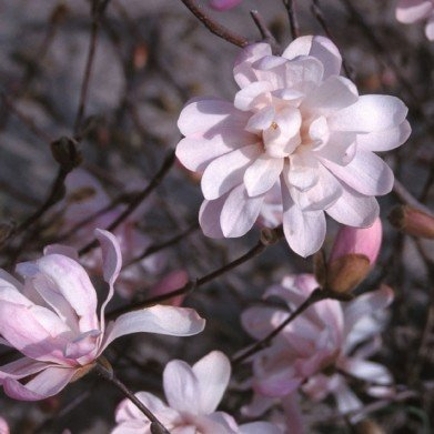 Magnolia stellata Waterlily Magnolia - Star, Waterlily, #7