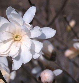 Magnolia stellata Royal Star Magnolia - Star, Royal Star, #7