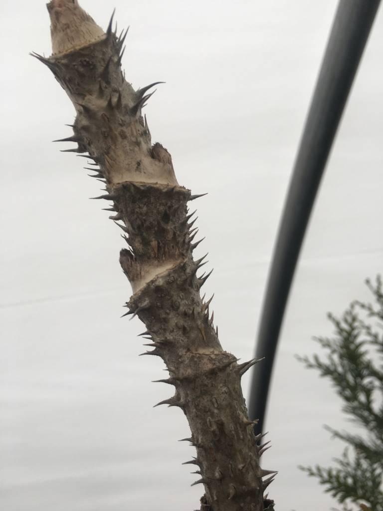 Aralia spinosa Devil's Walking Stick, #5