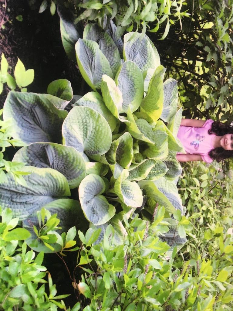 Hosta Olive Baily Langdon Plantain Lily, Olive Baily Langdon, #3