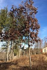 Native Tree Quercus alba Oak, White, #3