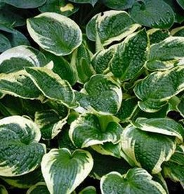 Hosta Wide Brim Plantain Lily, Wide Brim, #1