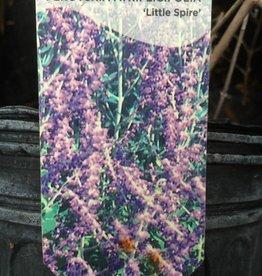 Perovskia atrip. Little Spires Sage - Russian, Little Spires, #1