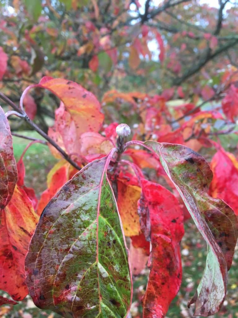 Cornus florida Dogwood - Flowering, #1