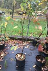 Native Tree Prunus serotina Cherry - Black, #3