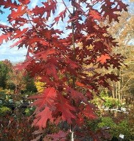 Native Tree Quercus rubra Oak, Red, #5