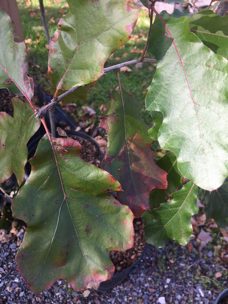 Quercus Velutina, Black Oak